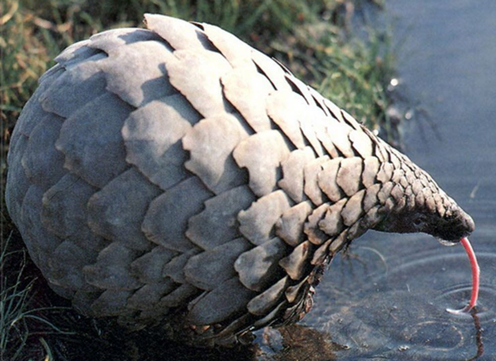 giant pangolin drinking